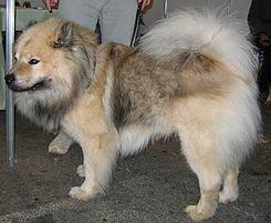 Eurasier, a veces llamado Eurasian es una raza de perro de tipo spitz originaria de Alemania.    Muy popular por ser una gran compañía a la vez que mantiene su propia personalidad. Es reservado con extraños, muy unido con su familia y relativamente fácil de educar.