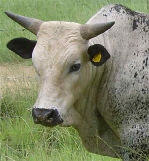 South African indigenous Nguni cattle