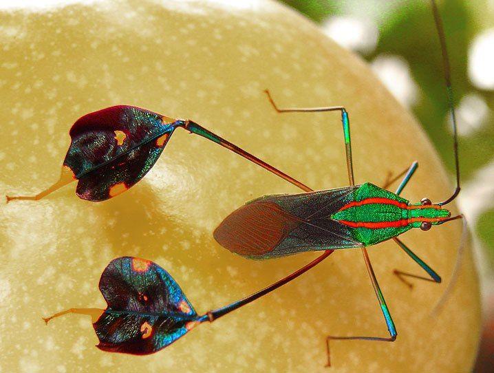Why?!! Yet, I think it's amazing...  Amazonian leaf-footed bug, (Diactor bilineatus)    Image via treknature.com