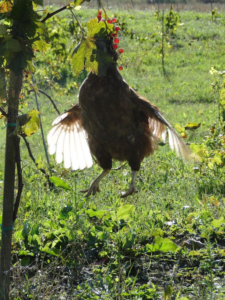 https://flic.kr/p/8FZauN | in flagrante delicto | ha! this is why the grapes are disappearing... the chickens steal in the vineyard! quite funny to see them jump - I am happy to have 'caught' this one in the middle of the jump, and the crime :) We let them, there is so much fruit this year...