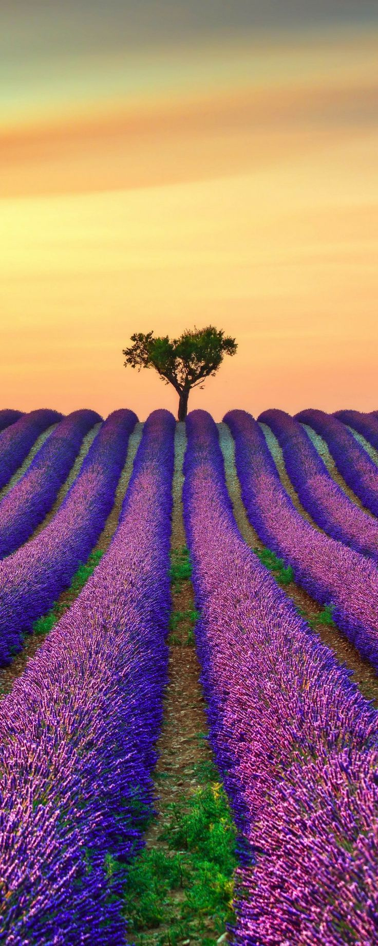Lavender Fields in Provence, France! Click to see 25 more incredible fairy tale…