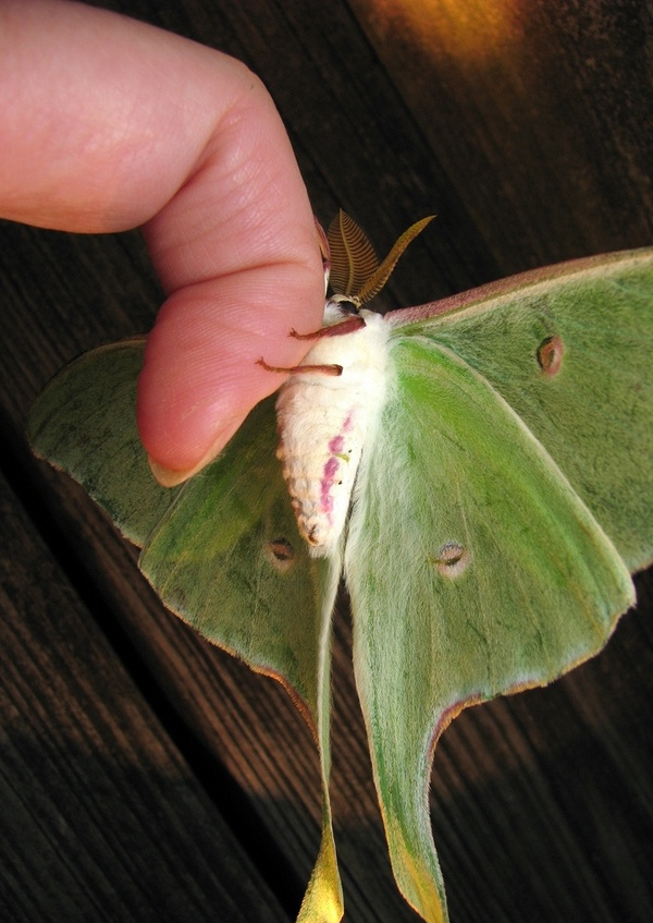Luna moth checking me out                                                                                                                                                                                 More