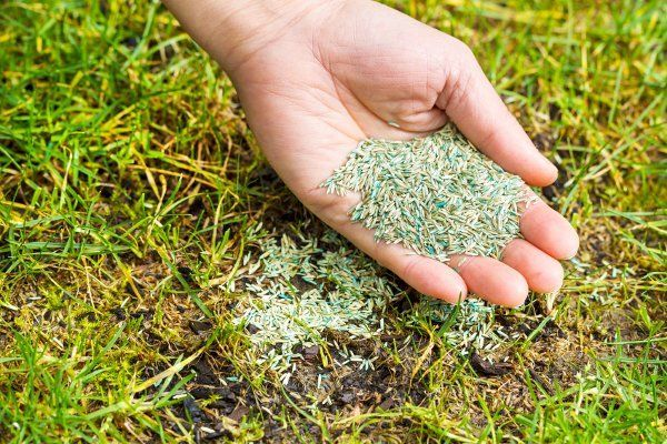 Lawn Seeding Is Not Just For Patchy Or Thin Grass But To Choke Out Crabgrass And Other Weeds Reseeding An Entire Planting Grass Growing Grass Overseeding Lawn