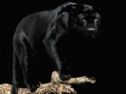 """Nightmare Emissary """"Tantibus"""" ♂ (black jaguar) - Owned by Mephisto - Special: Green, Obsidian and Emerald"""