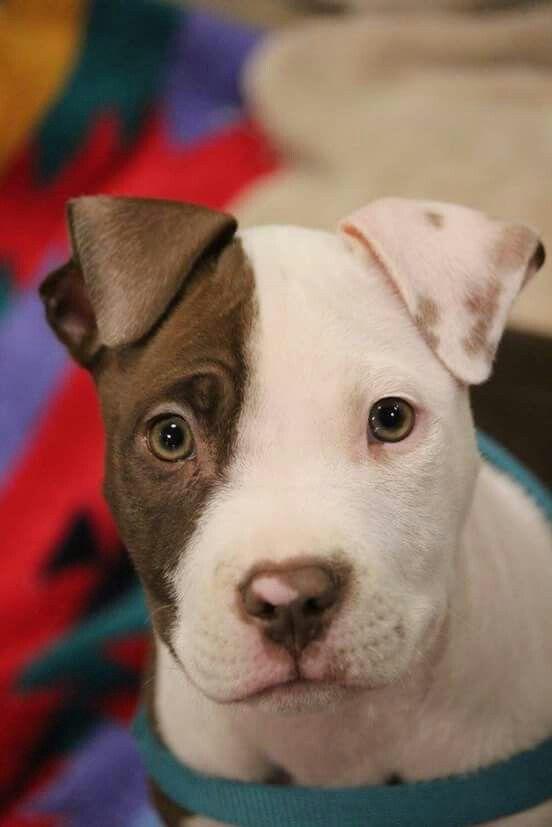 Pit Bull puppy cutie