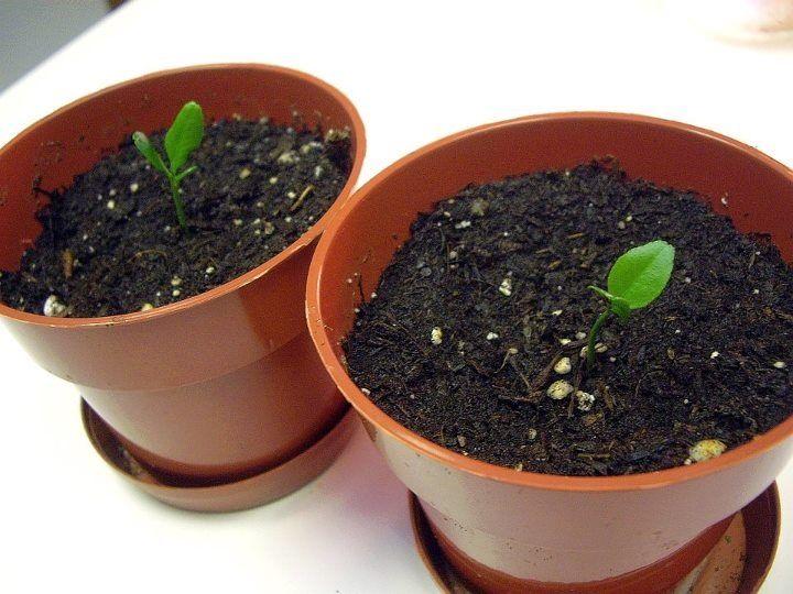 Growing lemon seeds