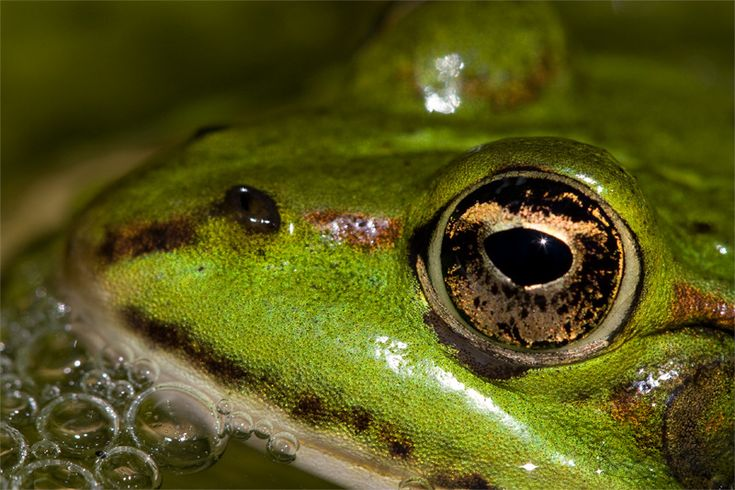 kikker | Groene kikker | DuikOnder.nl
