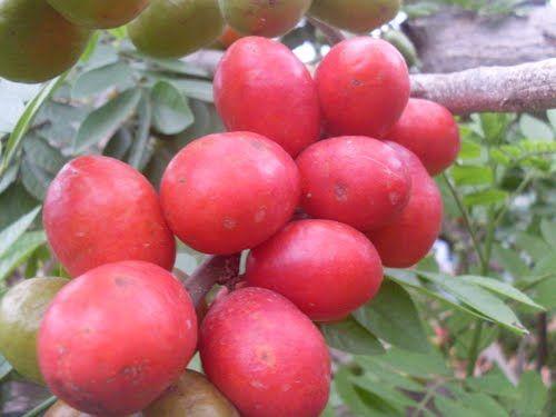 Red Hog Plum, Purple Mombin or Siriguela (Spondias purpurea)
