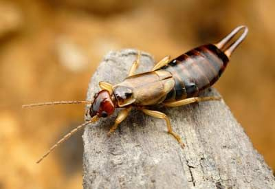 How to Get Rid of Earwigs | Planet Natural