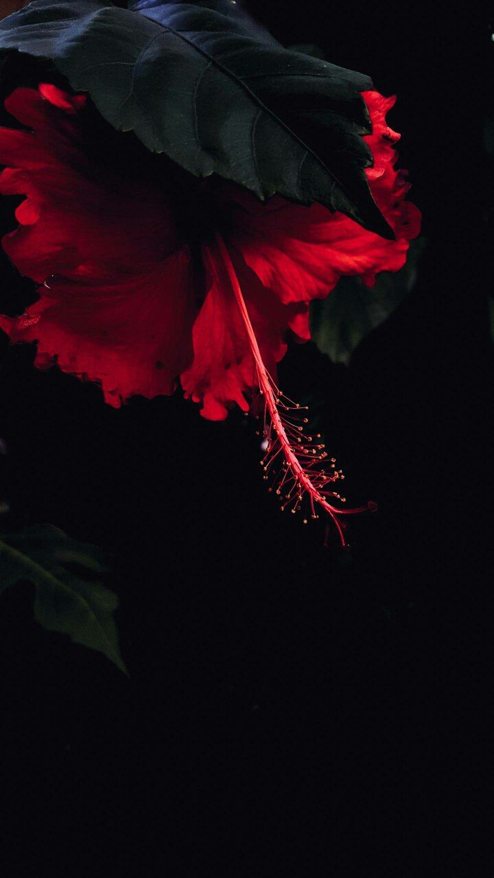 Image By Spirit Weda Red And Black Background Black Background Wallpaper Flower Background Wallpaper