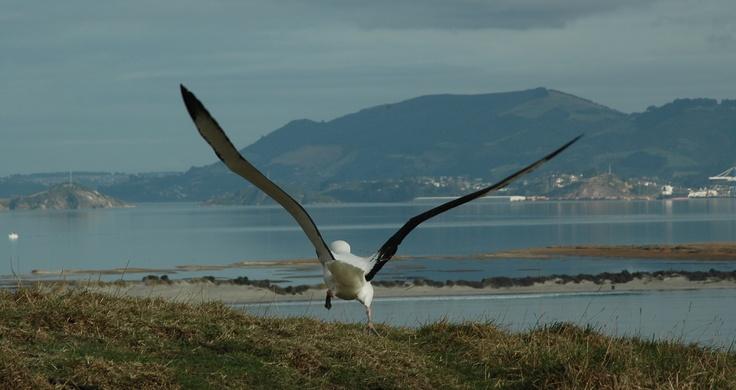 The Royal Albatross Colony at Taiaroa Head, on the tip of the Otago Peninsula. Creator: Tourism Dunedin