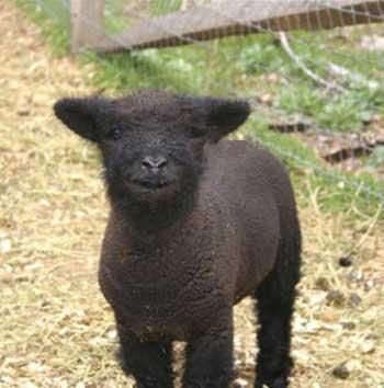 I want Babydoll Southdown Sheep some day!