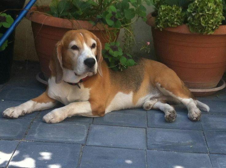 Jack, 4 years, my beagle