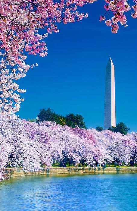 Washington D.C during the Cherry Blossom Festival. Washington Monument in the back. United States of America