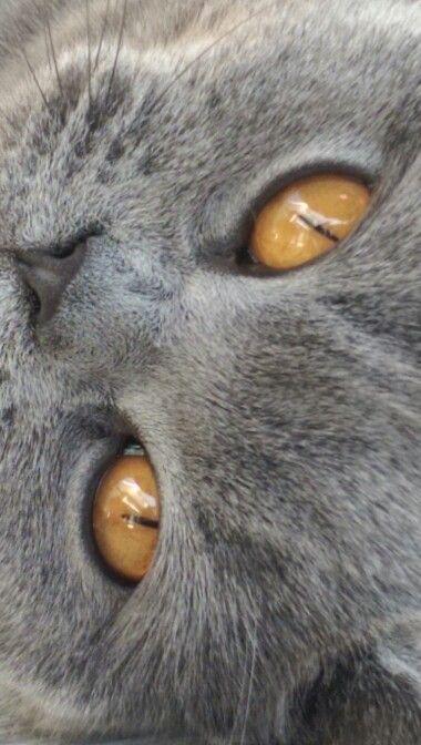 Thijske, britse korthaar. Amazing eyes..