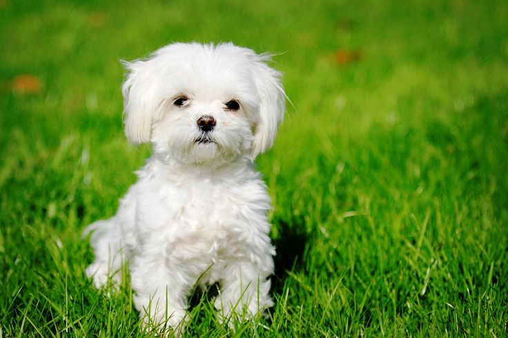 Maltese Maltese are also the small dog breed that comes under Toy Group. Toy group is a name given to the small dog breeds. It is believed that they have descends from the dogs in the Central Mediterranean Area.