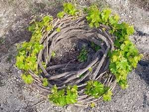 "Clever way Santos winery vineyard in Santorini grow grapes in Santorini where there is no rain.The ""basket"" shaped vines protect the soft and tender grape leaves from being damaged by the island's strong wind and sand."