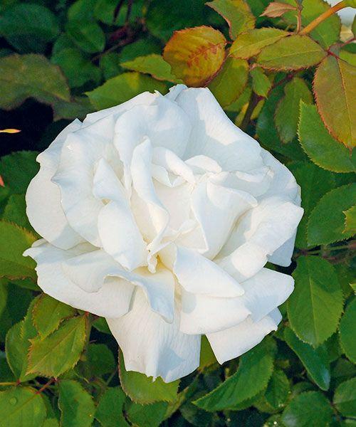 Růže ´Papež Jan Pavel II´ - voňavá. Rosa. Čistě bílá, velkokvětá růže s jemnou citrusovou vůní se ideálně hodí k řezu do vázy. Výška: asi 110 cm.