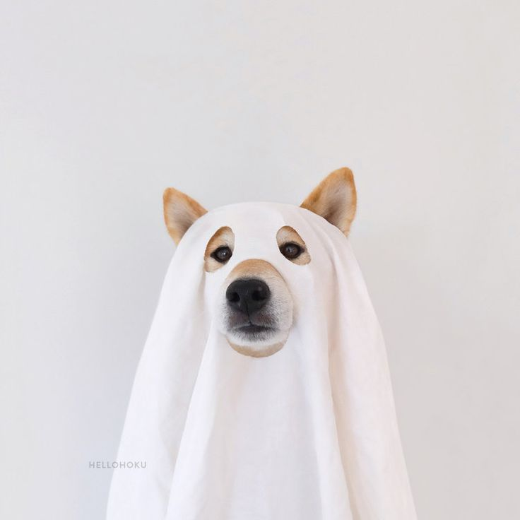 Shiba Inu Hoku dressed up to have a ghostly good time.