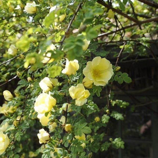 Good morning dear followers - Rose Hugonis - from Jette's garden #rosehugonis #roses #garden #jettesgarden #gardenvisits #gardendesign #jettefrölich #jettefroelich #jettefrölichdesign #jettefroelichdesign #danishdesign #scandinaviandesign #homedecor #gardendecor