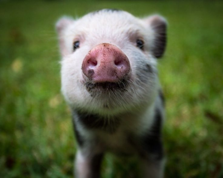 your daily pig : Photo