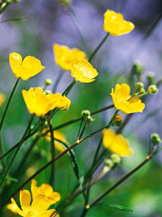 Kriechende Hahnenfuß als Gartenblumen für Gartengestaltung in gelb