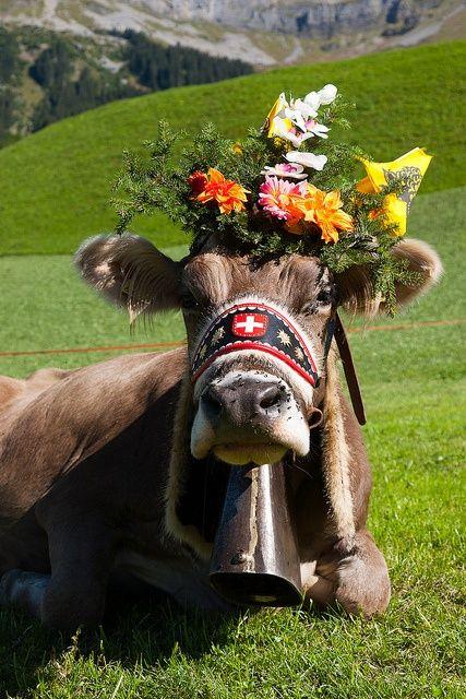 Travel Inspiration for Switzerland - Swiss cow