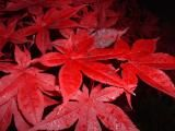 Close up of #Chinese #Maple leaves. Chinese Maple trees are extremely gorgeous all year, not just within the spring and summer. During the fall, these trees prove to be extremely rich in color, typically bright red.