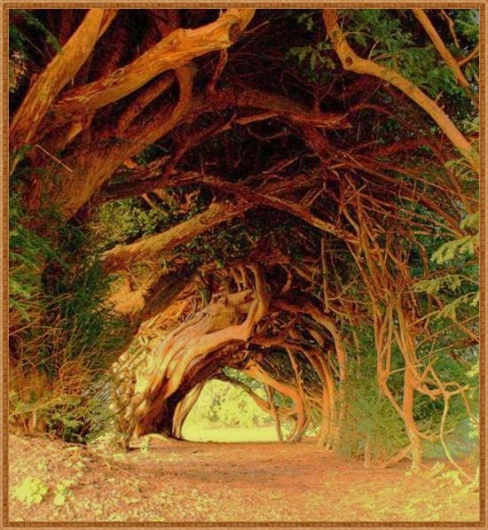 Yew Tunnel, on the way to the medieval Aberglasney House in Whales, UK