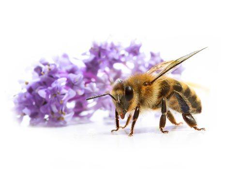 Le miel, la propolis, et tout ce qui vient des abeilles est rempli de vie. Ces petits insectes font de l'or.