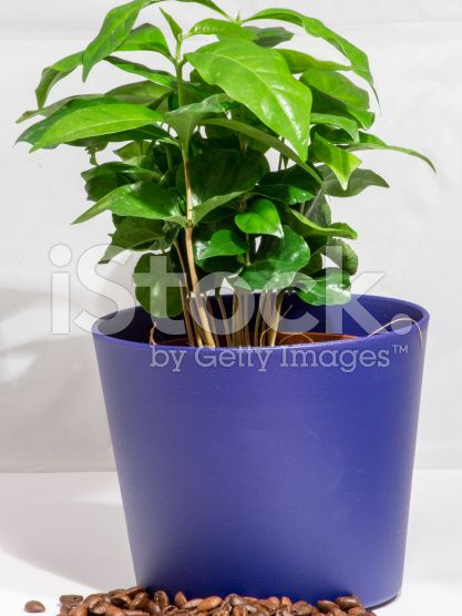 Small Coffee Tree A potted plant isolated on white – lizenzfreie Stock-Fotografie