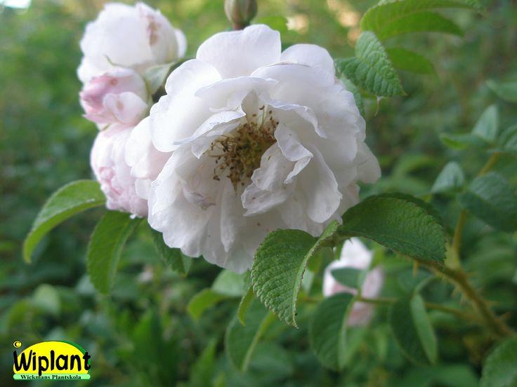 Rosa rugosa 'Sävel', Ros. Svagt rosa-vita blommor.  Blommar juni-juli, återkommer aug-sept.  Vårbeskärning främjar blomningen.  Höjd 1-1,2 m.  Zon IV (V).