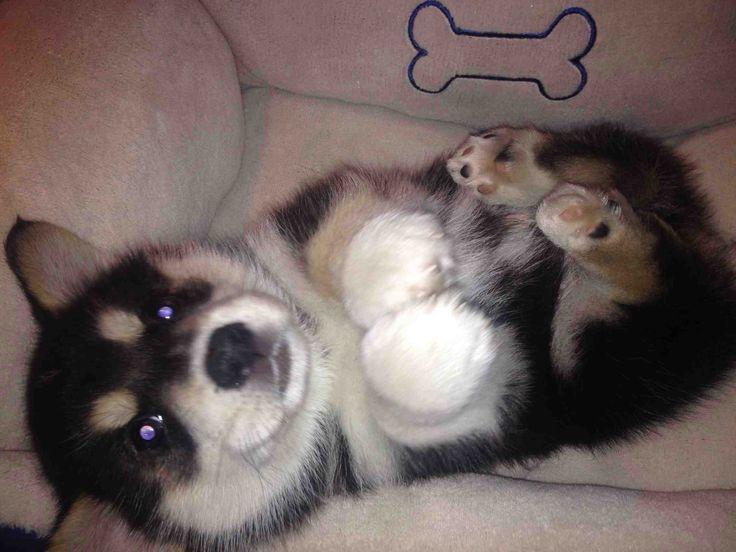 Must see Spherical Chubby Adorable Dog - d7d38304abc624c31562c7af1cfea66e--husky-corgi-corgi-mix  Photograph_369344  .jpg