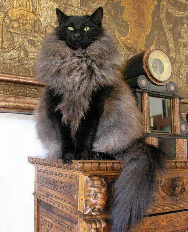 Norwegian Forest cat - it looks like a black cat wearing a fur coat! Description from pinterest.com. I searched for this on bing.com/images