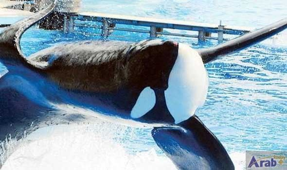 Tilikum, orca that killed trainer, dies at…