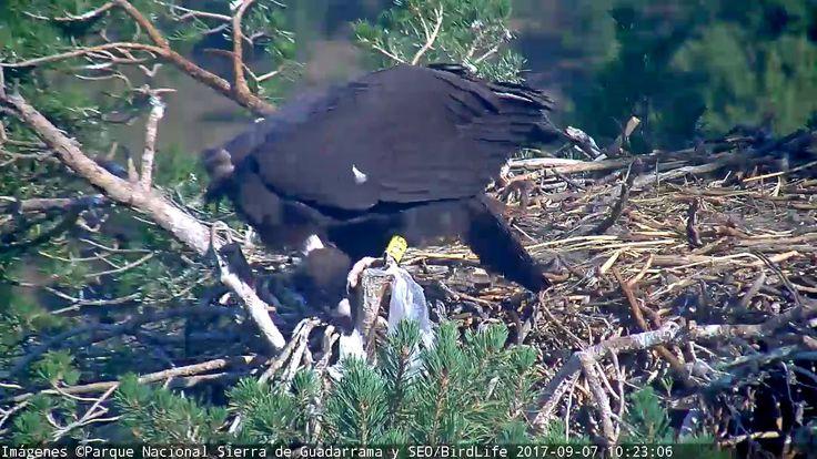 Basura en el nido-Buitre negro SEO/BirdLife - Rascafría