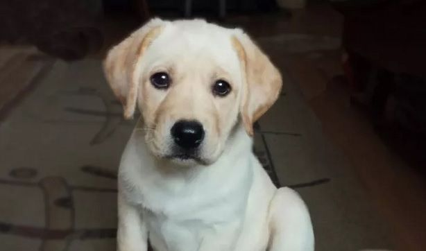 60 Male Labrador Dog Names Dog Names Labrador Dog Pet Names