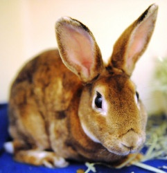 Prudence is an adoptable Rex Rabbit in Chicago, IL.  The rabbit adoption fee is $100 and benefits the rescued pets of Red Door Animal Shelter. Red Door Animal Shelter is located at 2410 W. Lunt in Chi...