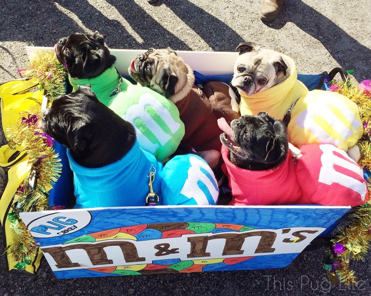 M&M Pugs at the Beggin' Pet Parade 2015 (Pug is yellow M&M)