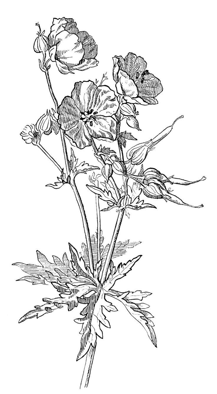 beautiful wild geranium drawing 4 options