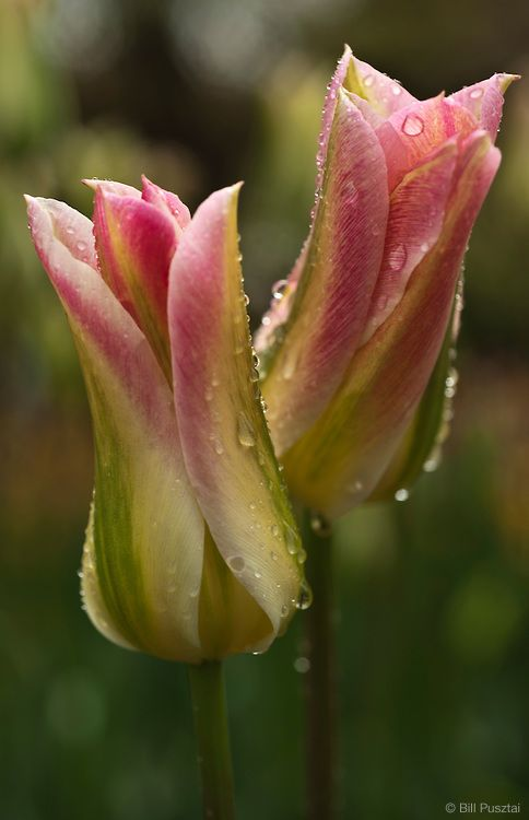 Tulipa 'Virichic' ~ Photo courtesy of RoozenGaarde, Tulips.com   Copyright Bill Pusztai