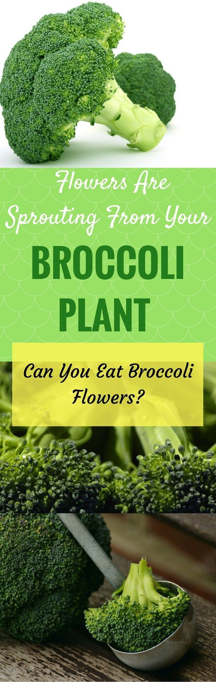 Can you eat broccoli flowers? Learn the truth about whether it's safe to eat your blossoming broccoli. https://gardenambition.com/can-you-eat-broccoli-flowers/