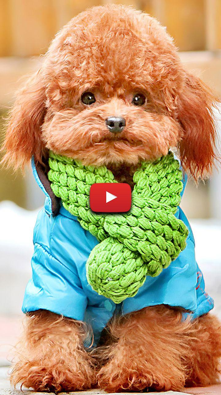 Cute Poodle Wallpaper Poodle Aesthetic Wallpaper Poodle Photography Beautiful Puppy Wallpaper Poodle Puppy Poodle