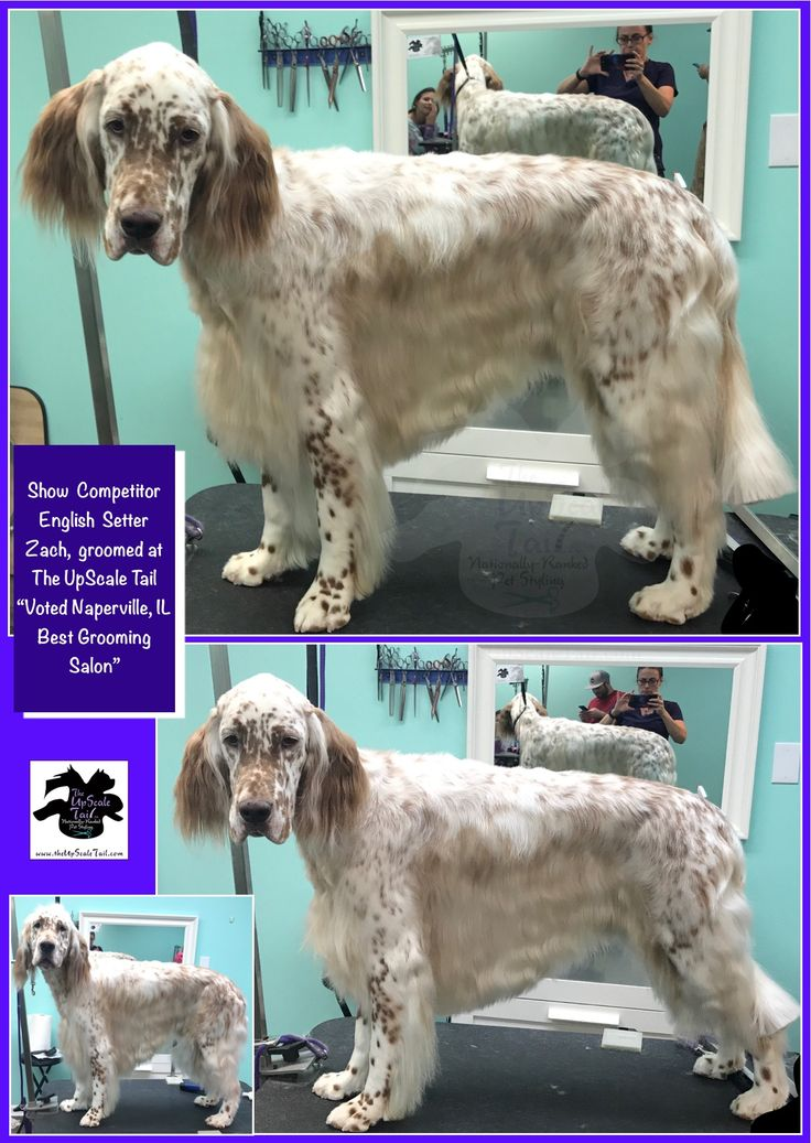 15 best community giving the upscale tail dog groomers naperville all breed show dog and rare breed grooming at the upscale tail voted naperville solutioingenieria Choice Image