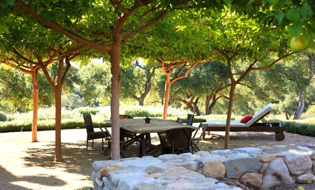 In Ojai, landscape designer Paul Hendershot created a family gathering place under a cool canopy of fruitless mulberry trees. Mulberries are fairly tolerant of drought once they get established, but their aggressive roots are large and shallow. Hendershot set up a watering system for the trees that irrigates them deeply once a week, keeping the roots from growing too near the surface.