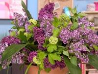 fabulous fragrant lilacs!