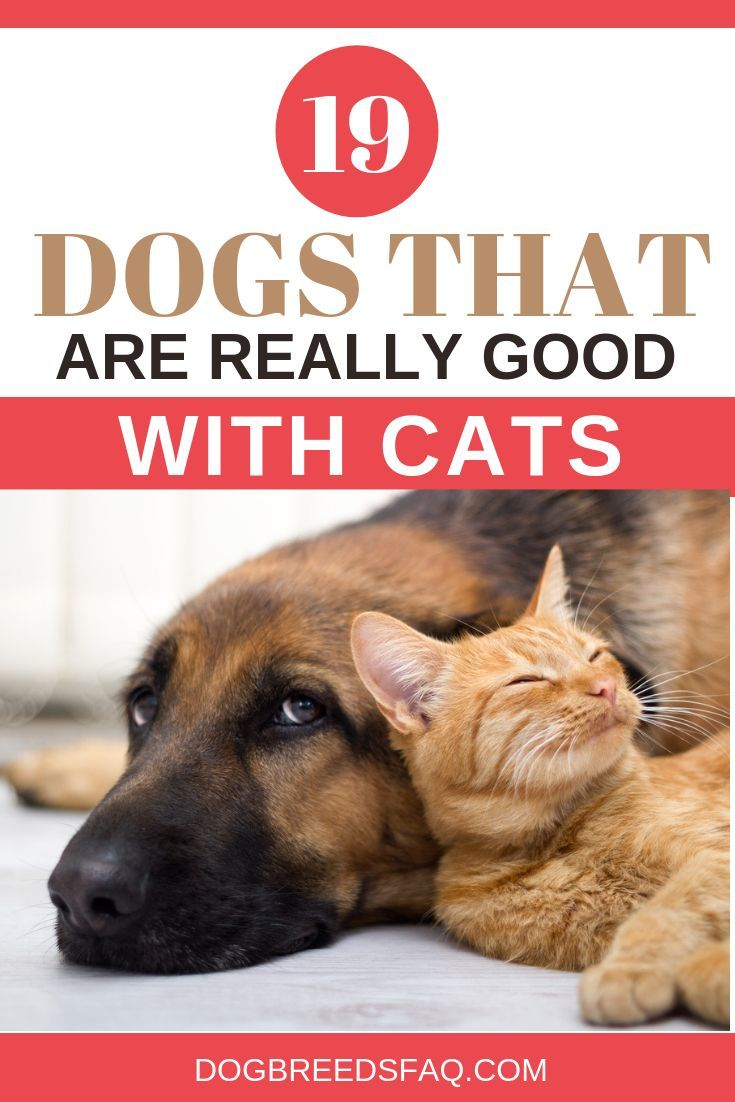 19 Dog Breeds That Are GOOD With Cats | Dog breeds, Dogs, Best dog breeds