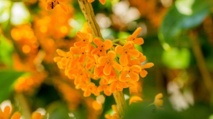 小さなオレンジ色の花をつけます。キンモクセイの香りには鎮静・リラックス効果があるといわれており、香りを嗅いでいると気分が落ち着いてきます。
