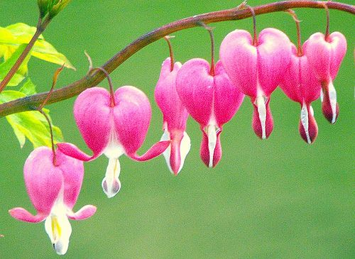 Pink bleeding hearts were beautiful in my North flower bed.  They are almost finished with their first bloom but their foliage is so pretty I still like they way they look.  I cut off the dead flower stalks; I usually get a second flowering in June.  So delicate and what a great pink color!
