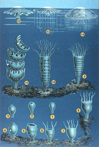 "meta-apathy:  The developmental stages of scyphozoan jellyfish's life cycle In: ""Das Meer"". Verlag und Druck A. Sacco Nachf., Berlin, 1869."